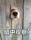 暗中�^察表情包狗 一只狗暗中�^察表情包