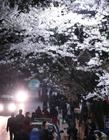 武大樱花2017 武大樱花图片