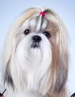 西施犬造型图片大全 西施犬成犬图片唯美