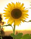阳光下的向日葵图片 美丽向日葵的图片大全