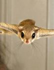 宠物小飞鼠图片