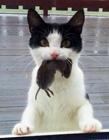猫抓老鼠图片 猫会抓老鼠吗
