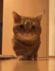 小短腿猫图片