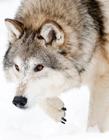 雪地里的狼 霸气孤独狼图片