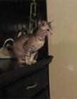 猫可以跳多高