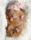 可爱的小仓鼠视频