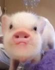 猪的图片搞笑带字图片