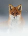 红狐狸可爱图片