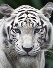 白老虎图片 白老虎图片大全