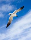 海鸥飞翔图片 海鸥飞翔的图片大全