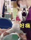 狗狗打针搞笑动态图 狗狗打针搞笑图片