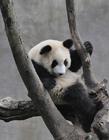 熊猫为什么那么可爱 熊猫为什么那么萌