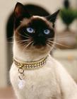 暹罗猫图片 泰国猫暹罗猫图片