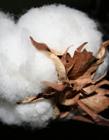 棉花图片 有关棉花的图片