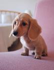 可爱腊肠犬图片