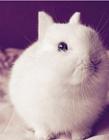波兰兔图片