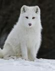 白狐狸图片 漂亮的白狐狸图片