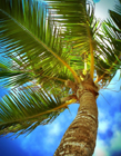 椰子树怎么养 椰子树怎么种植
