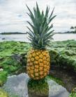 菠萝高清图片 菠萝高清图片大全大图