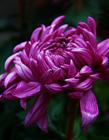 紫色菊花�D片