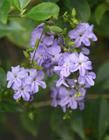 紫色金露花�D片
