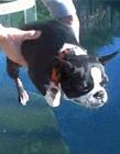狗狗游泳视频