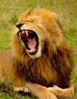 狮子高清图片 狮子高清图片大全大图