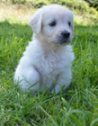 白色金毛犬图片