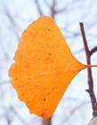 银杏叶照片