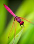 蜻蜓翅膀高清�D片