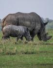 犀牛是牛吗 犀牛和牛是一个种类吗 犀牛是不是牛