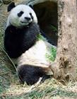 大熊猫照片