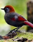 赤尾噪鹛图片