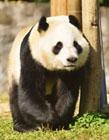 大熊猫抵达芬兰 大熊猫华豹金宝宝去芬兰