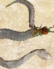 巨型蜈蚣遭毒蛇吞噬后同归于尽