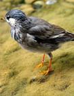 灰椋鸟图片