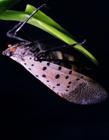 斑衣蜡蝉图片