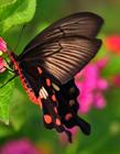 玉带凤蝶图片