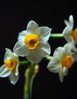 水仙花照片
