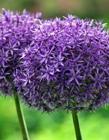 紫色葱花图片