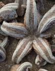 英国海滩现死海星 为什么会出现那么多死海星