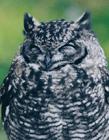 猫头鹰是国家保护动物吗