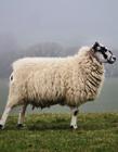 �d羊剪毛痛�� �d羊不剪毛��怎��