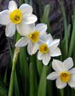 水仙花是否有毒 水仙花有毒��