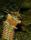 海底最长的虫子巴比虫(博比特虫)gif动态图片