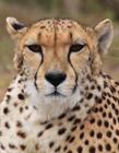 金�X豹照片