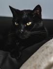 黑色猫咪图片 黄色眼睛黑色身体酷劲十足