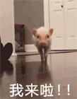 小香猪表情包gif 小香猪动态表情包