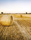 金色稻田图片