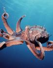 章鱼图片大全